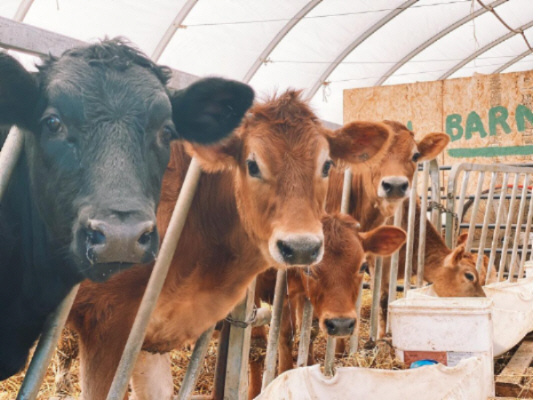 Cow Line Up
