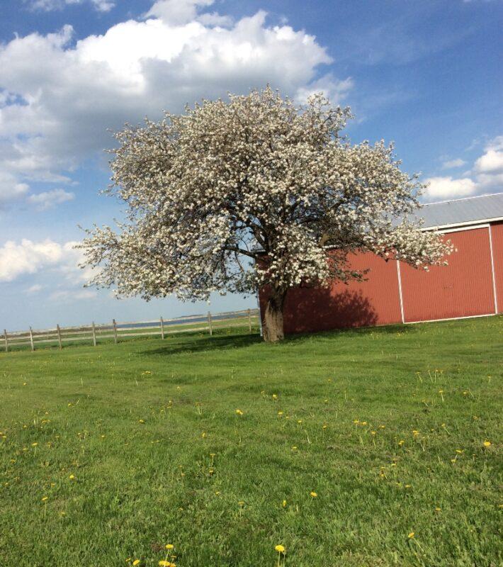 Home Farm - Transparent Apple Tree